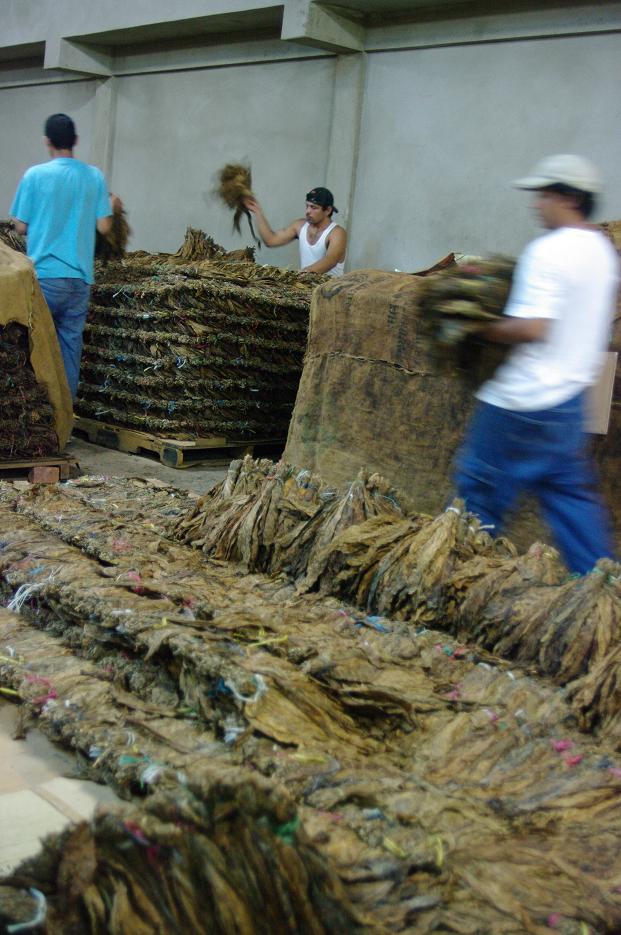 Les ouvriers du tabac aèrent et rangent le tabac
