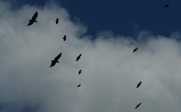 Des busards volent dans le ciel Nicaraguayen
