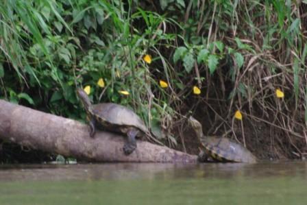 Les tortues et le vols des papillons jaunes (détail dune photo)