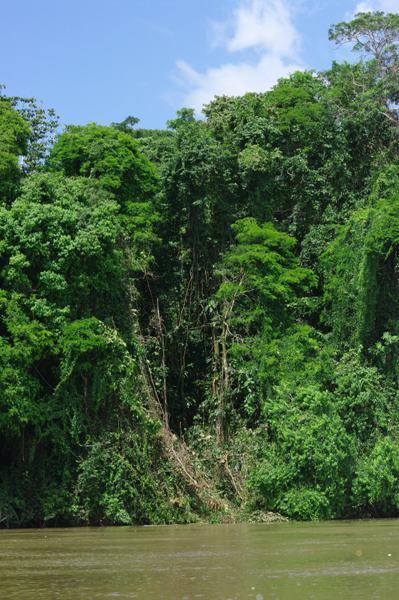 Un mur de verdure de plusieurs dizaines de mètre de haut au bord du Rio San Juan