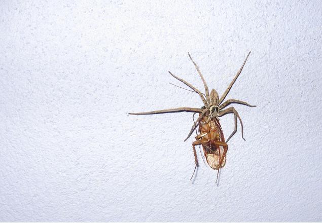 Une araignée en train de manger un cafard. Pour indication, laraignée fait à peut près 8 cm de long.